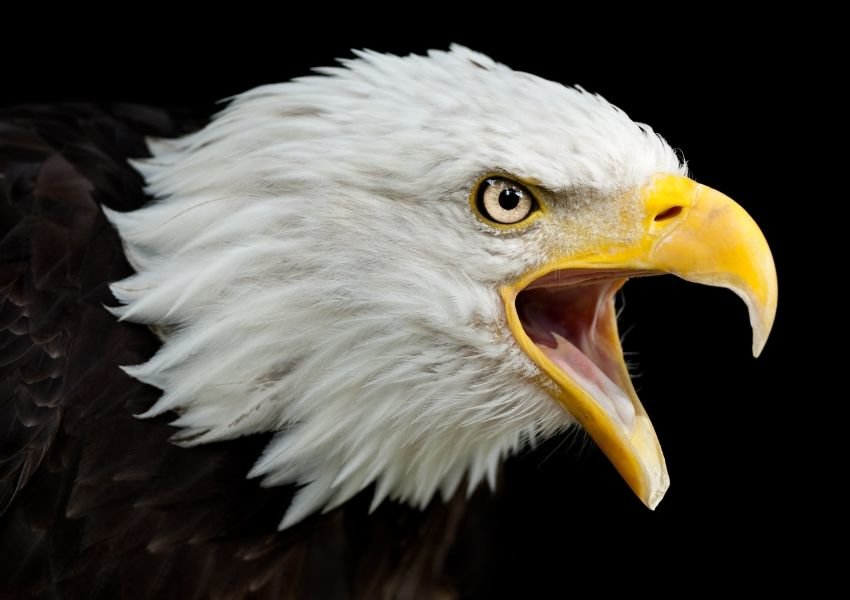 Fascinating facts about bald eagles