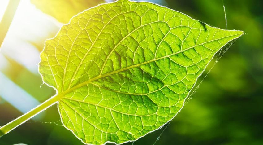 Photo of a green leaf with sunlight coming through from behind it