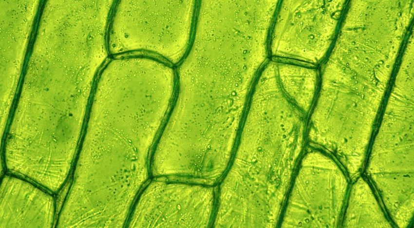 Close up photo of green plant cells