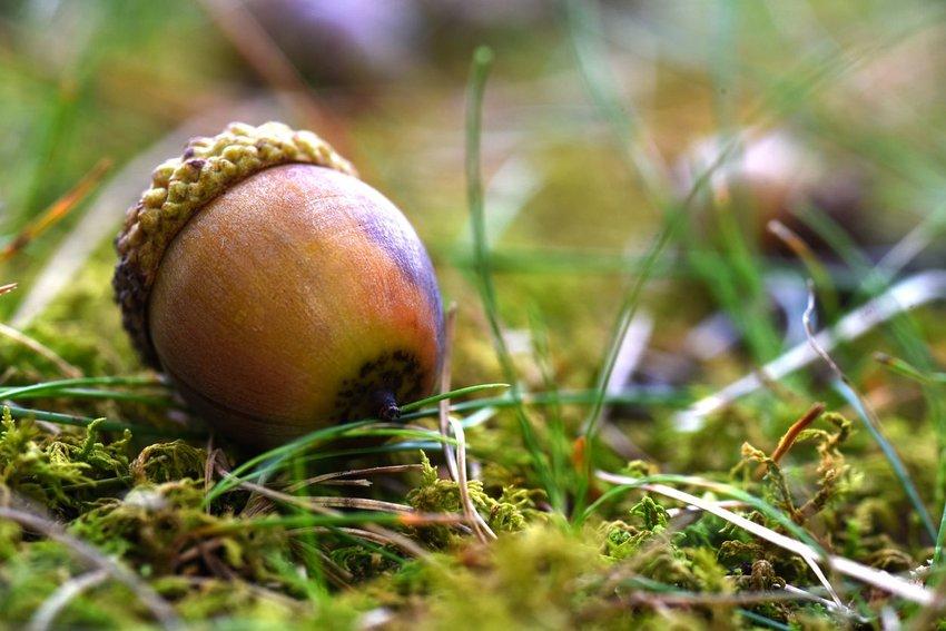 Close-up photo of an acorn