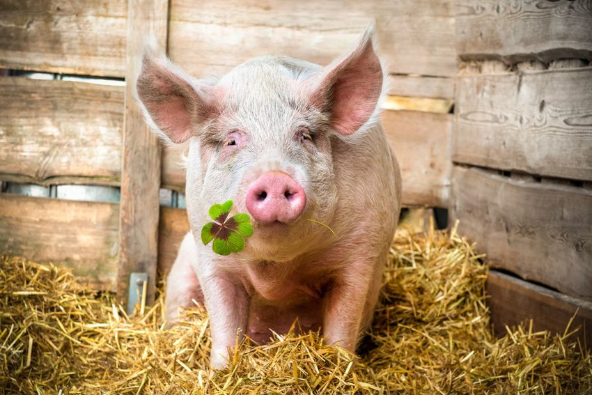 Photo of a pig holding a four leaf clover in its mouth