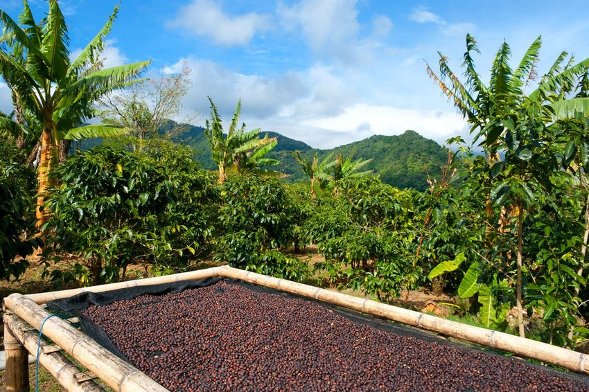 Photo of a bed of coffee beans with tropical mountains and trees in the background