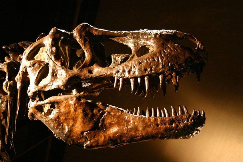 Skeleton of a Tyrannosaurus Rex