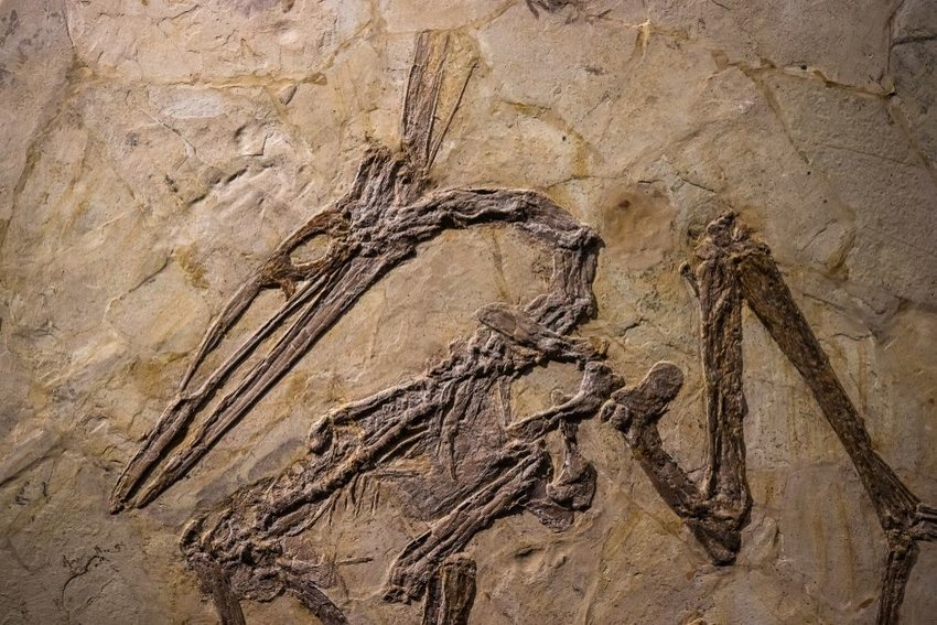 Fossil of a pterosaur