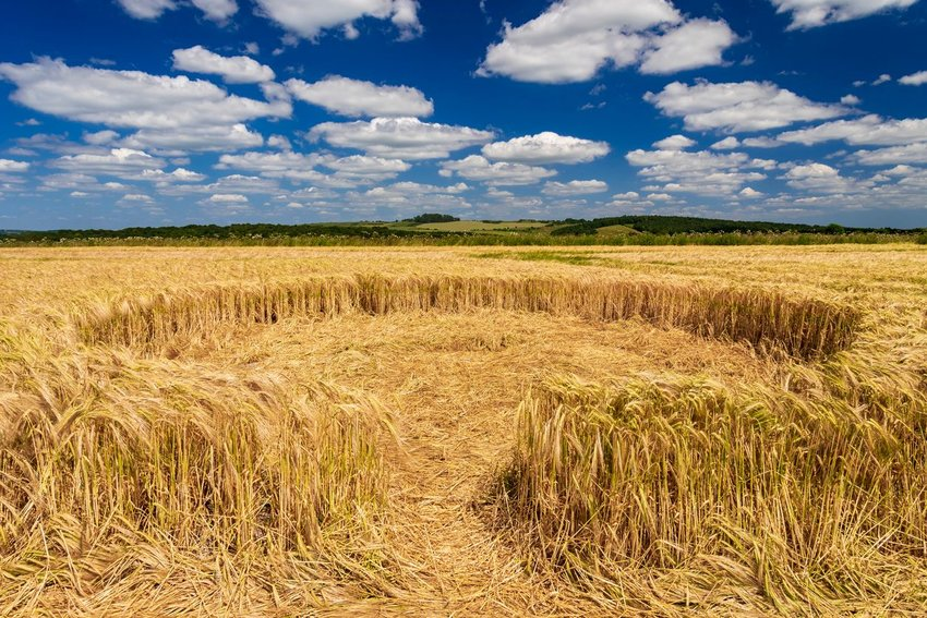 Photo of a crop circle in a field of wheat