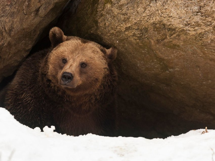 Brown bear emerging from its rocky cave with snow on the ground