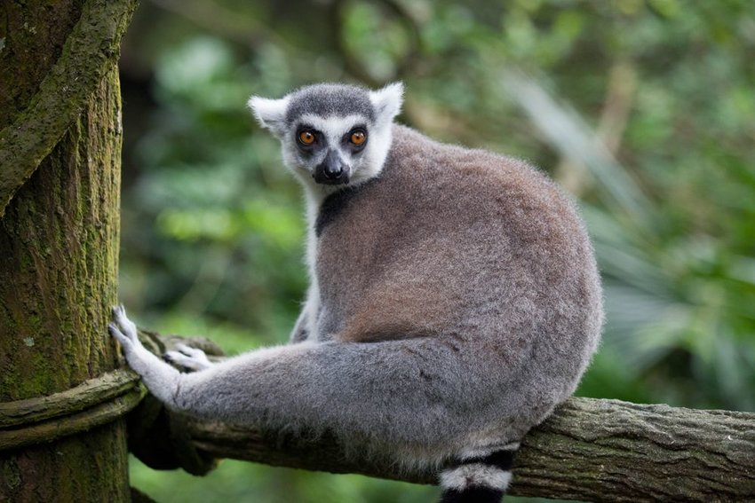 Up close view of lemur resting on tree branch with vines and trees in background