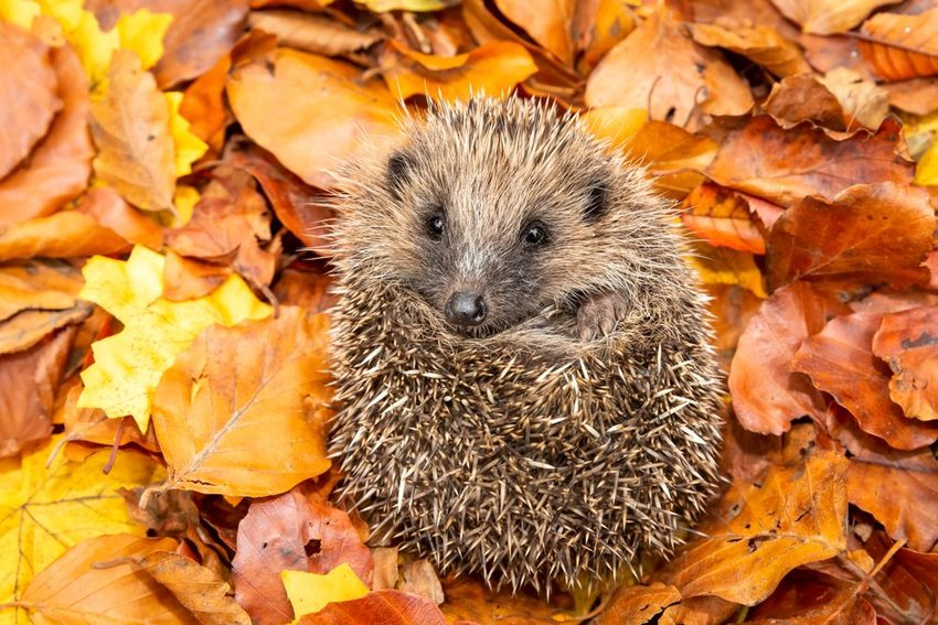 Hedgehog resting on a pile of golden autumn leaves, preparing to hibernate in the fall