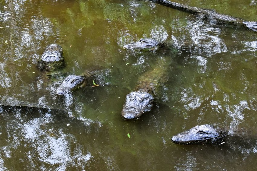 Group of alligators blending in and resting in a dark green pool