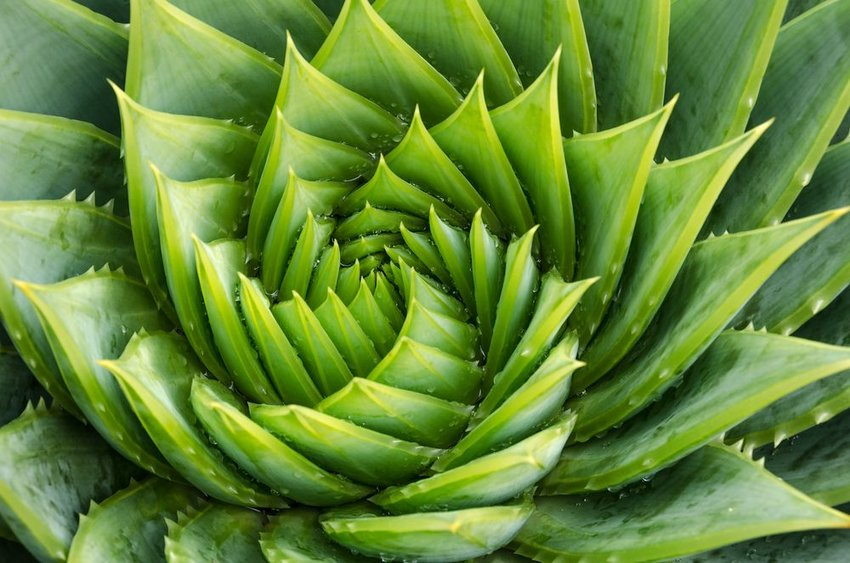 Up close view of spiraling aloe vera plant, showing the golden ratio design