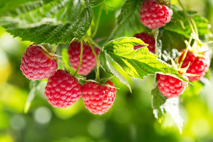 Bunch of red raspberries with leaves and foliage hanging from a bush