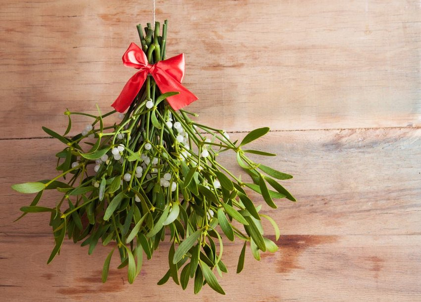 Traditional bundle of mistletoe wrapped with string and a red ribbon hanging against a wooden backdrop