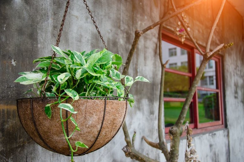 Pothos ivy plant starting to grow in a hanging basket, placed near a rustic home