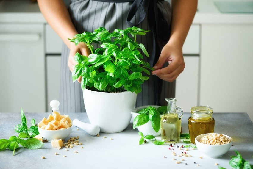 Person standing behind indoor fresh basil plant, pulling leaves for cooking