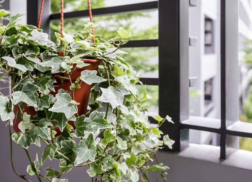 Hanging English ivy plant in basket, with bright green leaves on display