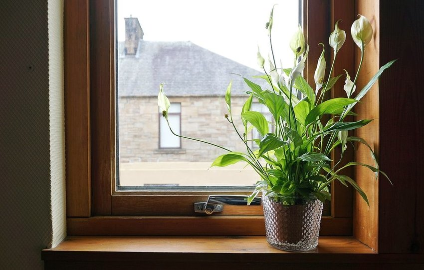 Peace lily potted plant sitting in windowsill and soaking up the sun