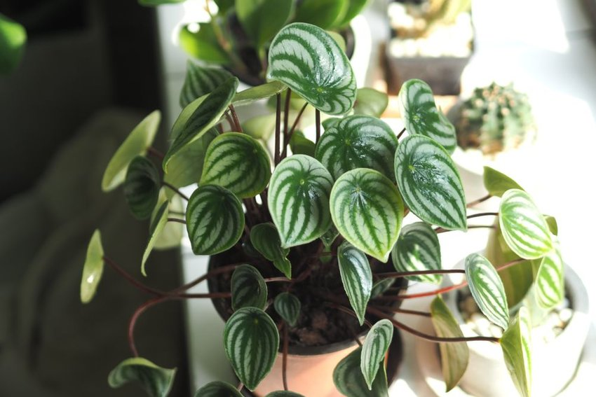 One variant of the Peperomia potted plant, with multicolored green leaves