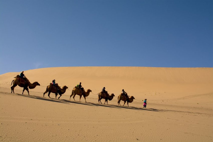 Camel caravan going through the sand dunes in the Gobi Desert