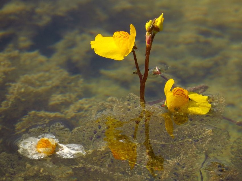 Yellow bladderwort plant with flowers rising from the water