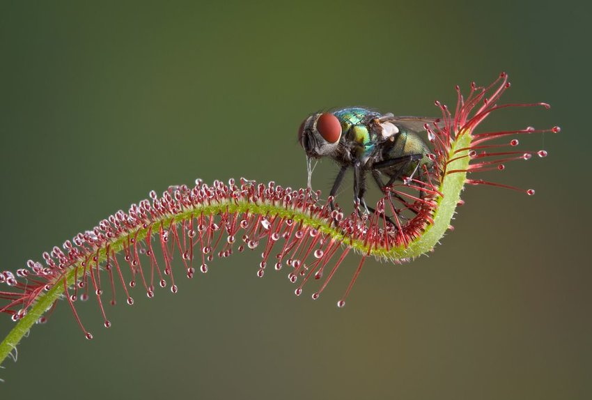Up close view of delicate sundew plant with fly trapped