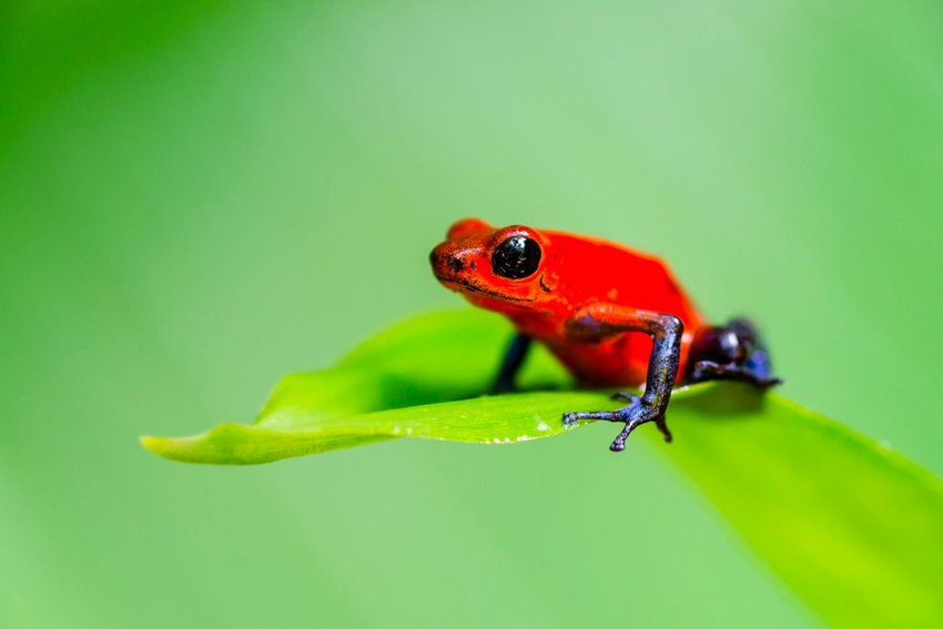 Tiny red poison dart frog perched on a green leaf