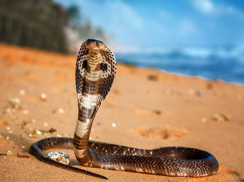 King cobra resting on a sandy beach with hood open