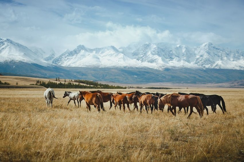Horses walking through grass with mountains in background