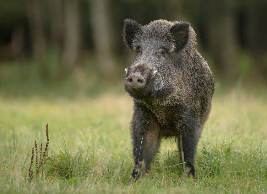 A lone boar standing in a grassy field