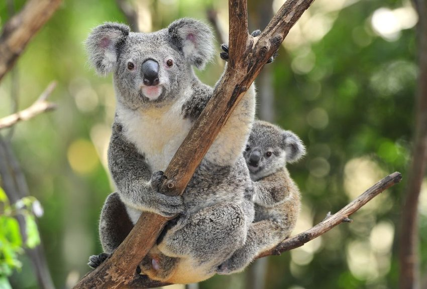 Koala parent and cub resting on a thin tree branch with blurry trees in background