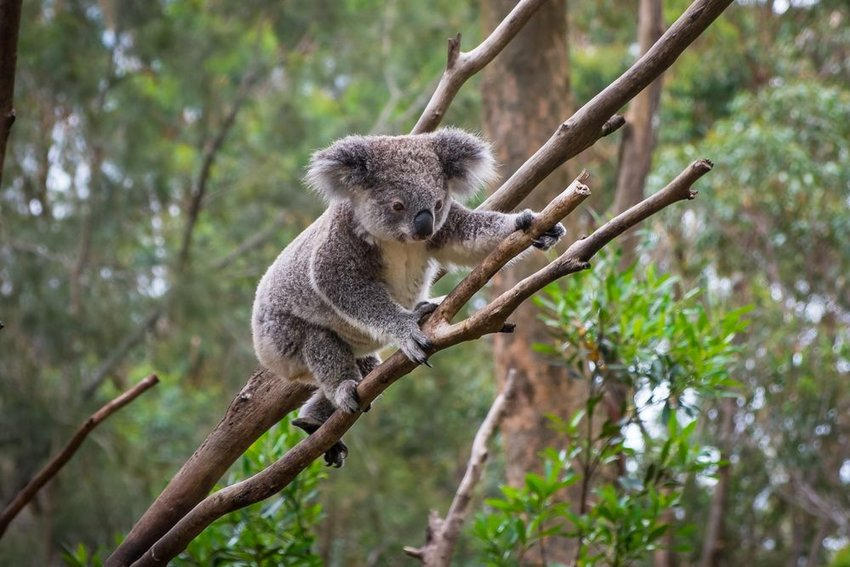 Wild koala clambers across thin tree branch under forest canopy