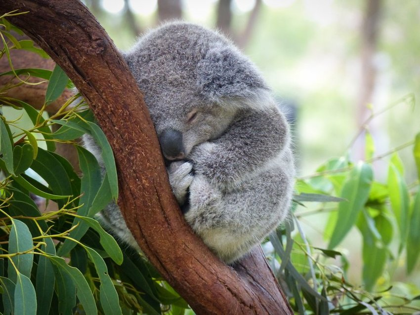 Young koala sleeps comfortably on a curved tree branch