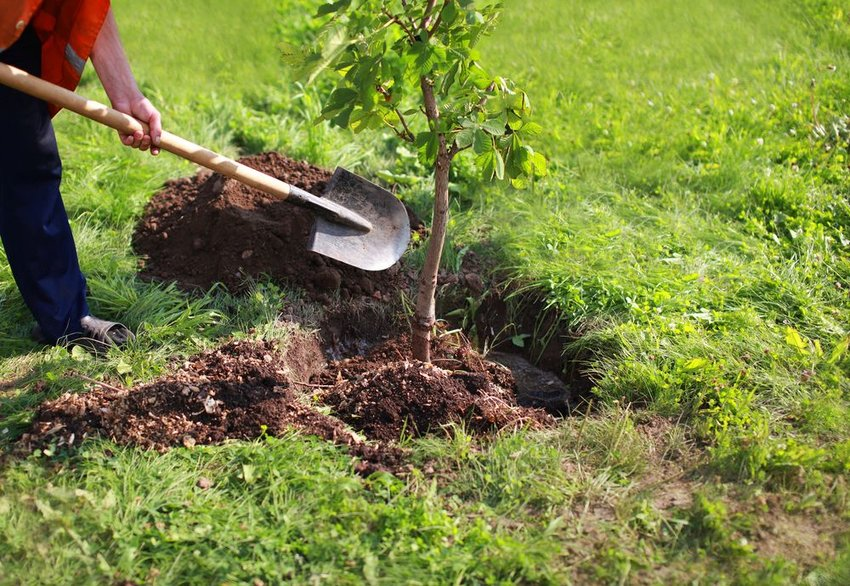 Person digging a hole in the ground with a shovel, planting a young tree in dirt
