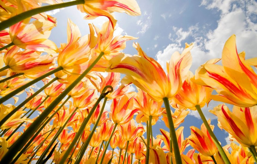 Flame tulips from low angle view in the Spring