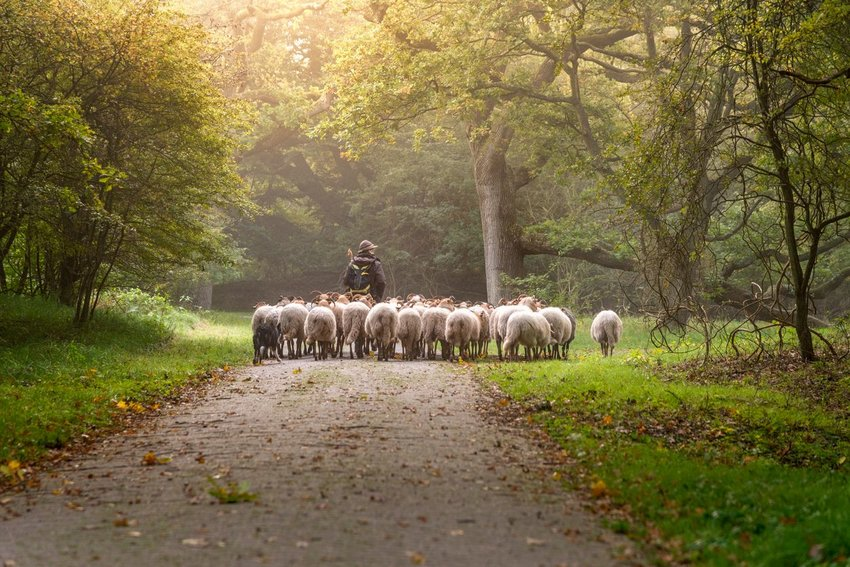 Shepherd with sheep on pathway surrounded by trees and grass