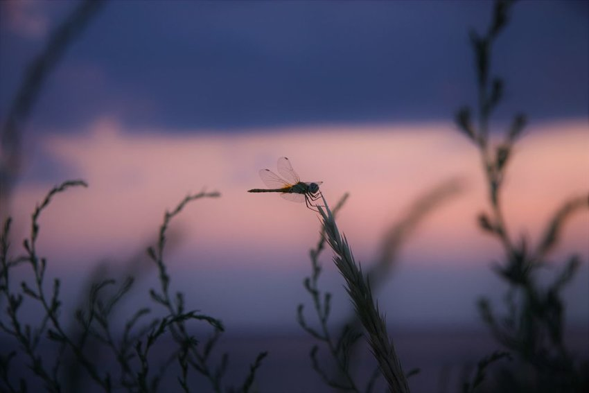 Dragonfly on the end of a plant at sunset