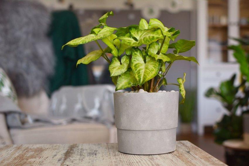 Light green Syngonium Podophyllum vine plant in gray flower pot on table