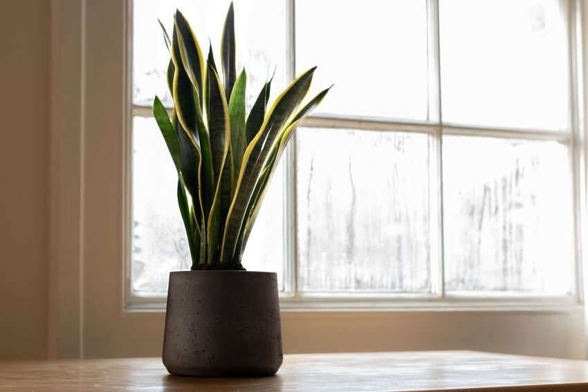 A Sansevieria trifasciata indoor plant, in front of a window