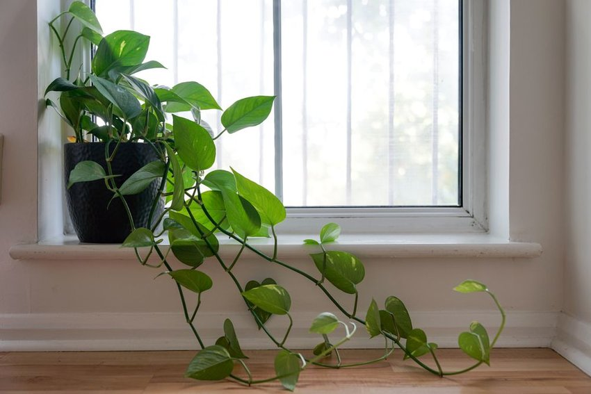 Heartleaf Philodendron on a windowsill during the day