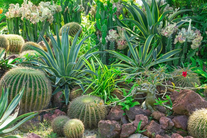 Cactus garden, decorated with Cactuses, Agave, Crown of thorns plant, brown sand stone, green leafs shrub on background