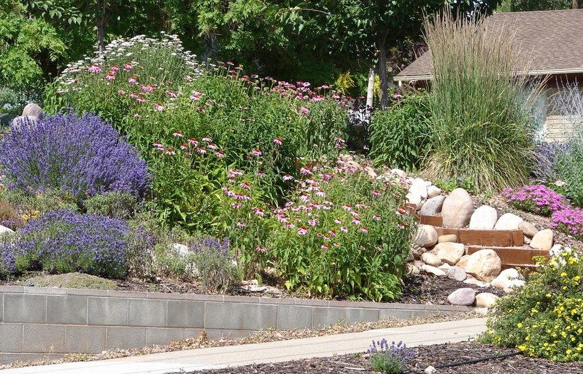 Garden with lavender, echinacea, ornamental grasses