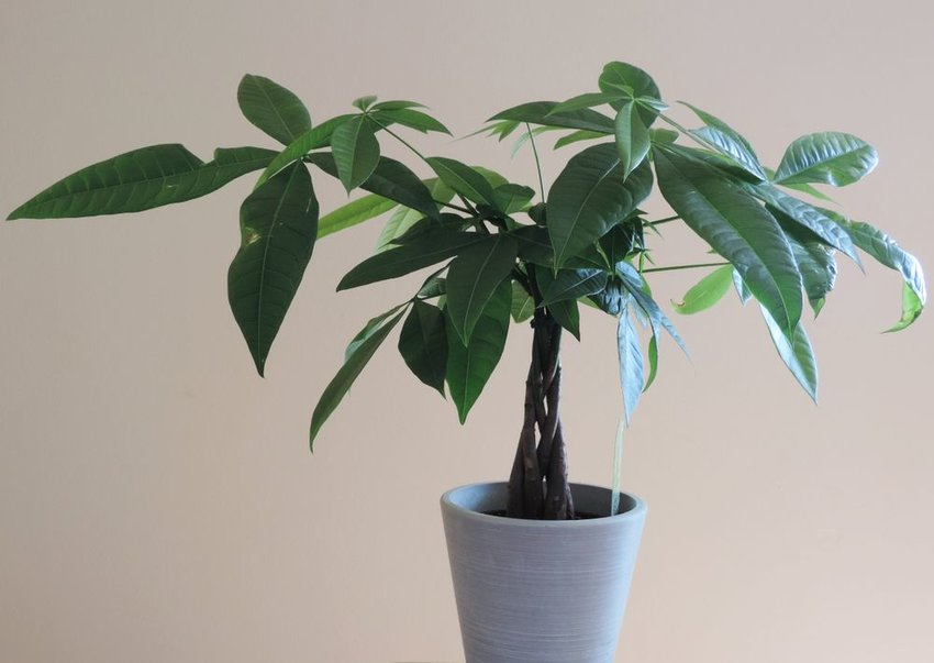 Money tree growing in a white pot