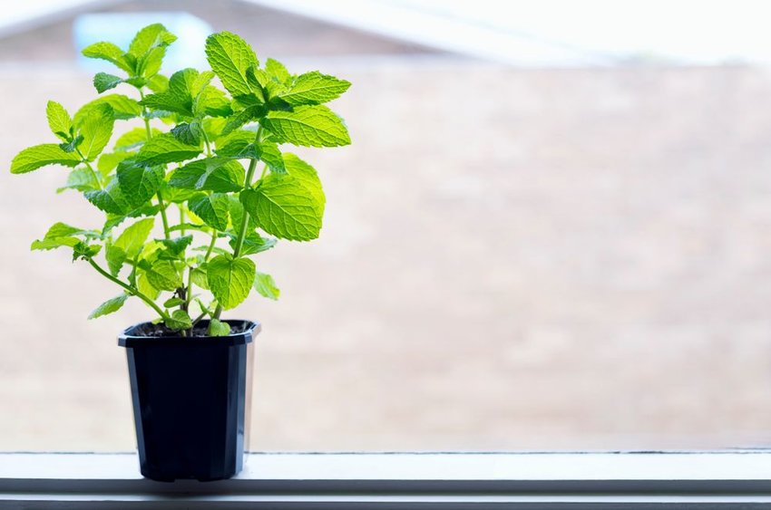 Mint plant growing on windowsill