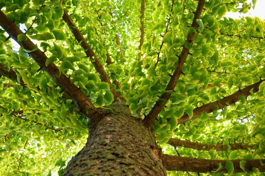 The Amazing Stories Behind 5 Famous Trees